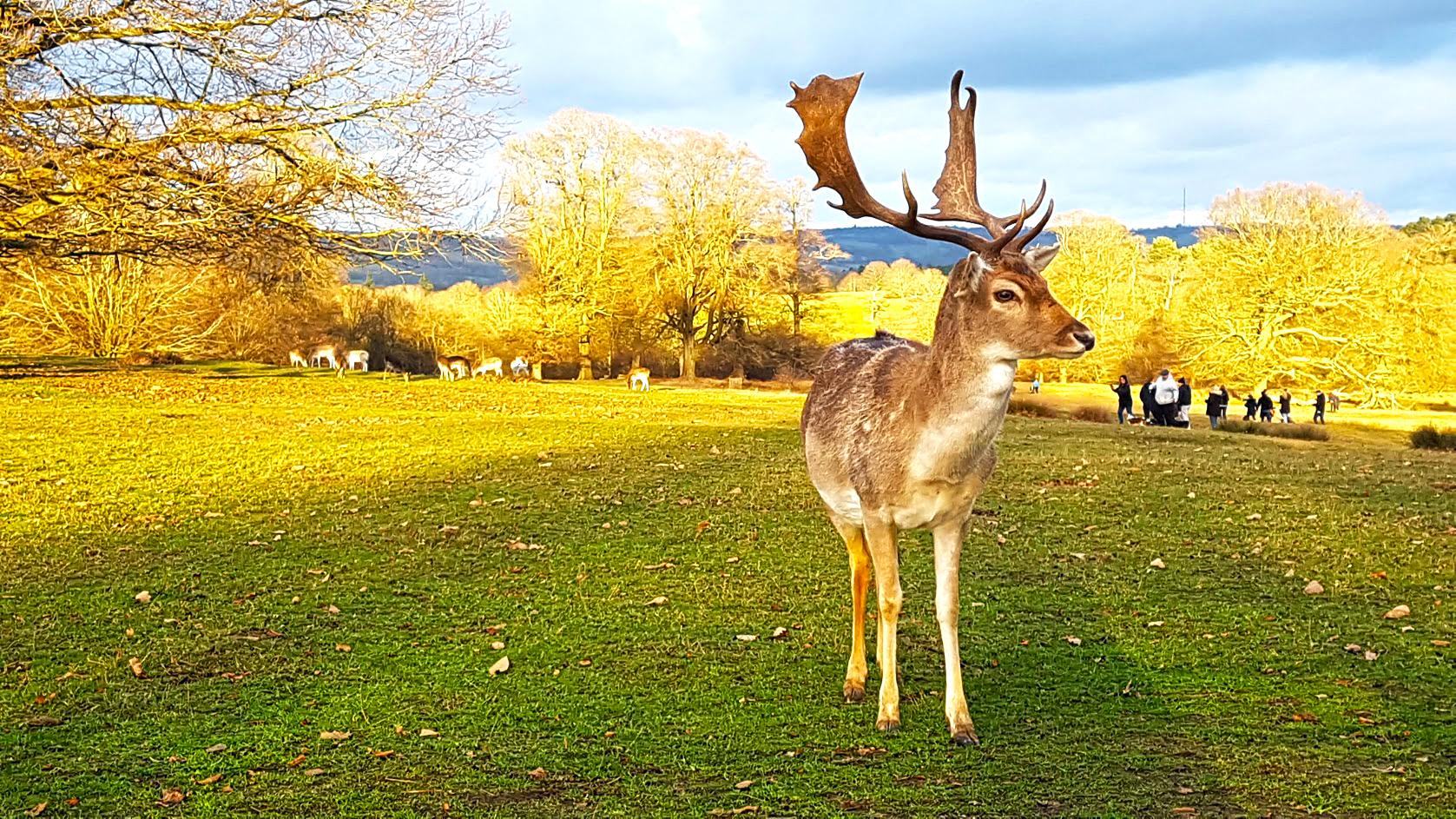 knowle_park_deer